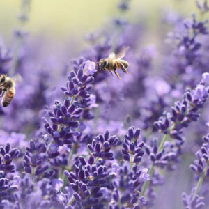 Well Sell Lavender - The Lotus Center of MD - Cecil County